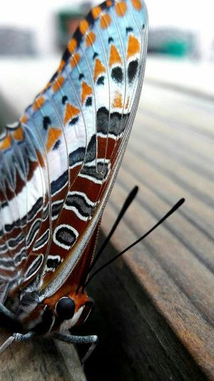 Charaxes jasius saturnus Foxy Charaxes Alternate common names: Foxy Emperor, Koppie Charaxes, Koppie Close-up No People Pets One Animal Nature Outdoors Animal Themes Cute Animal Day Emperor Afrikaans common name: Koppie-dubbelstert Wingspan: ♂ 65–75 mm ♀ 75–90 mm Notes: Common, widespread in savanna areas. Males are regular visitors to the tops of ridges and koppies at midday and make vigorous swoops on intruders into their 'playground', each time returning to their Aloe stalk or some suitable branch. Flight period: Year-round. More common late summer to autumn. Break The Mold EyeEmNewHere