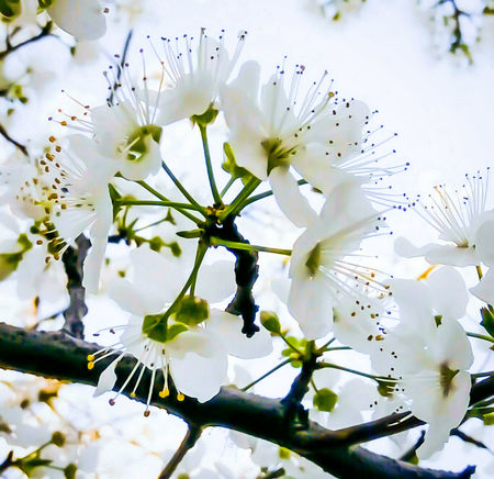 Spring white blossom flower, apple tree garden by elvio Flower Nature Beauty In Nature Fragility Springtime Outdoors Freshness Almond Tree Art Gallery Painting On The Wall Poster Art Modern Art Art, Drawing, Creativity Abstract Photography Interior Design GalleryOfModernArt Fine Arts Photography Fine Art Gallery EyeEmNewHere Fine Art Painting Interior Decorating Beauty In Nature Eye Em Nature Lover Nature Tree EyeEmNewHere Art Is Everywhere Art Is Everywhere
