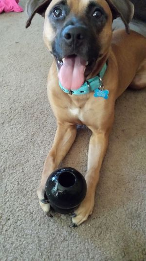 Brutus is in love with his new Kong dog toys. Dogs Of EyeEm The Amazing Adventures Of Brutus The Dog Rhodesian Ridgeback