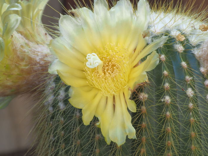 Flower Head Flower Yellow Closing Springtime Beauty Petal Uncultivated Close-up Plant In Bloom Blossom Cactus