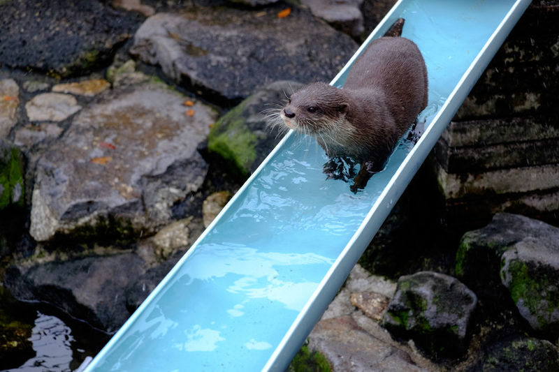 High Angle View Of Mongoose On Trough At Zoo