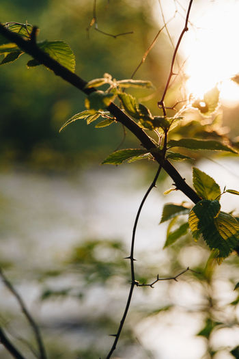 Sunlight through branches Backlight Back Lit Backgrounds Beauty In Nature Branch Close-up Day Freshness Golden Hour Growth Nature No People Outdoors River Sun Sun Flare Tree Water