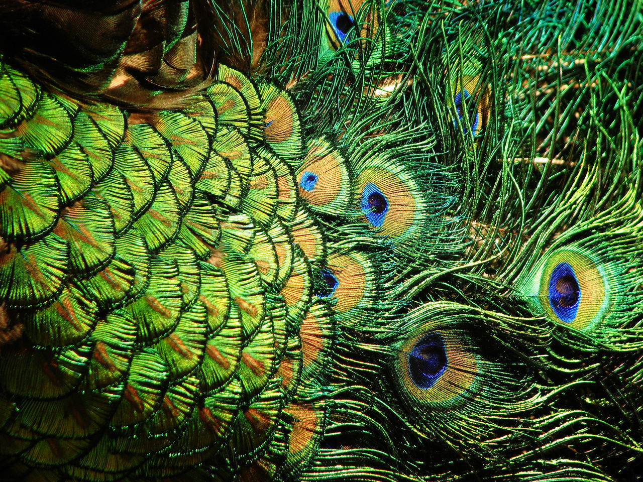 peacock feather, multi colored, green color, animal themes, animal, peacock, feather, bird, full frame, no people, vertebrate, close-up, natural pattern, pattern, beauty in nature, backgrounds, animal wildlife, fragility, animals in the wild, vulnerability, softness, outdoors