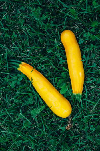 Marrow squash in grass Food And Drink Yellow Freshness Grass Vegetable Green Color Land Plant Healthy Eating Food Organic Contryside Field Squash - Vegetable Vegetarian Food