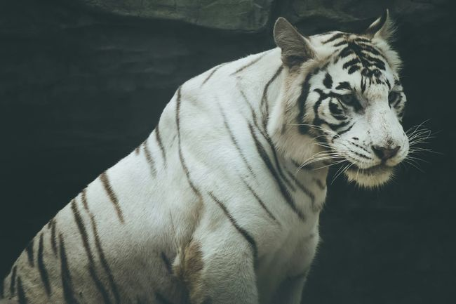 """When you have no choice, mobilize the spirit of courage."" What Makes You Strong? Stand Out From The Crowd Asian Culture Tiger White Tiger Cats Big Cats Caturday Animals Animal Photography"