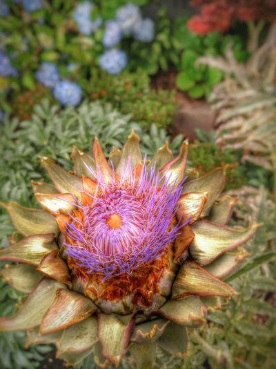 Flower Cardoon Artichoke Seattle