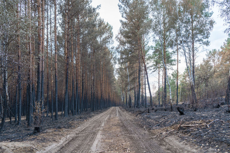 After the Forest fire Forest Fire, Drought Heat - Temperature Germany Treuenbrietzen Fire Forest Destroyed Brandenburg 2018 Tree Summer Environment Weather Climate Change Pines Monocultures Charred Destruction Burned Arson  Burning Nature Natural Disaster Wood New Life No People Blackandwhite Growth Survival Of The Fittest