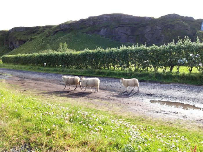 sheep everywhere Sheep On The Street Iceland Wild Sheep Traveling Road Cute Icelandic Outdoors Sheep Rural Scene Agriculture Field Grass Sky Landscape Lamb Herd Farm Animal Animal Migration Group Of Animals