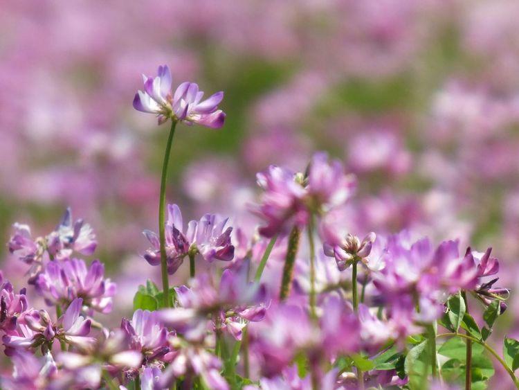 蓮華草 Flowers Flowerporn Flower Flowers Cute♡ Flower Collection Flower EyeEm Flower EyeEmbestshots