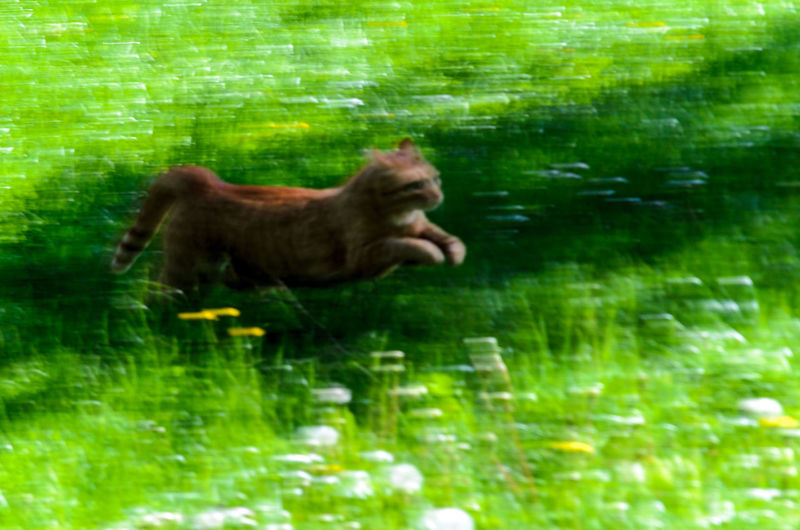 red cat running throug a meadow Funny Green Red Sunny Animal Themes Animals In The Wild Day Domestic Animals Fast Grass Green Color Mammal Motion Nature No People One Animal Outdoors Pets Red Cat Water Winnetou