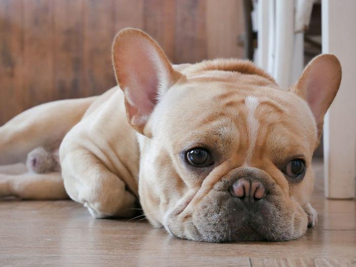 Close-up portrait of dog lying on floor