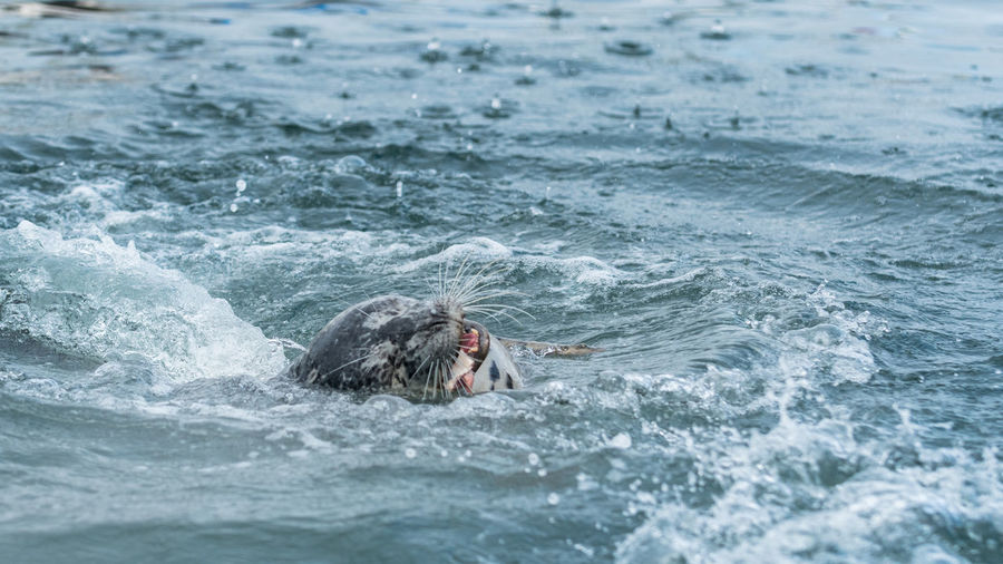 Close-up of seal swimming in sea