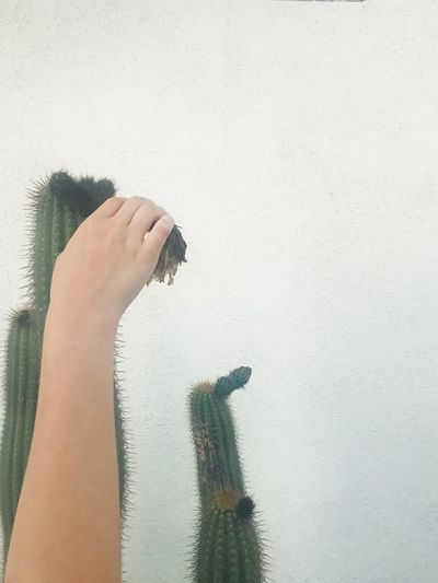 a u c h p a i n Human Hand Holding Real People One Person Human Body Part Indoors  Day Lifestyles Paint Roller White Background Close-up Mammal People Eyemphotography EyEmNewHere Eyem Nature Lovers  Plant Nature Cactus Succulents Pain Feeling Emotion Physical Geography