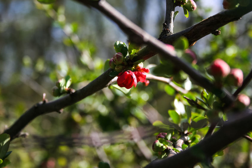 Beauty In Nature Bloom Blooming Branch Chaenomeles Japonica Close-up Day Flower Focus On Foreground Maule's Quince Nature No People Red Rosé Spring Springtime