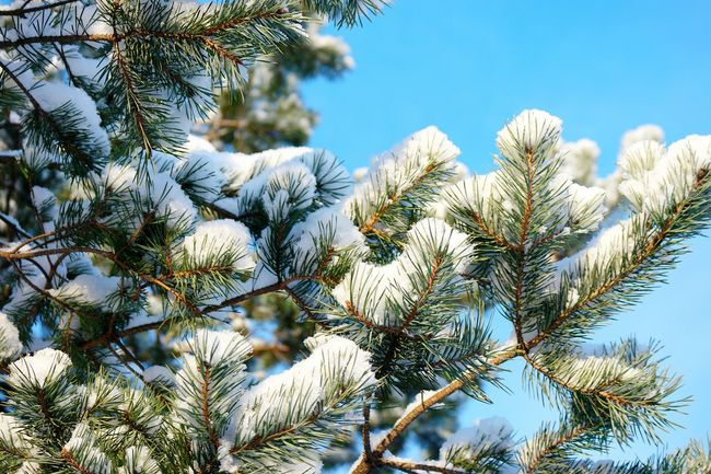 Cold Winter ❄⛄ Winter Season January Showcase: January Winter Forest Snow❄⛄ Winter_collection Winter 2016 It's Cold Outside Wintertime Snowy Trees Winter Trees Frosty Day Snow Covered Snow Covered Branch Nature_ Collection  Winter Day Winter Sky Branches And Sky Cold And Frosty My Winter Favorites