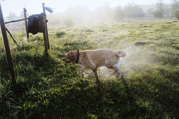 Dog Dogs Labrador Retriever Summer In The City