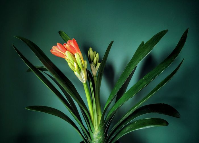 Close-up of flower plant against white background