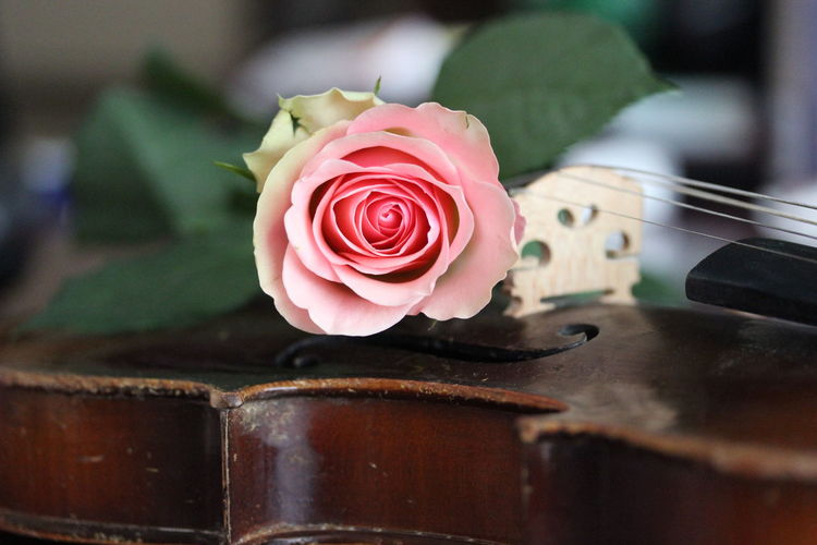 Close-up of rose on violin