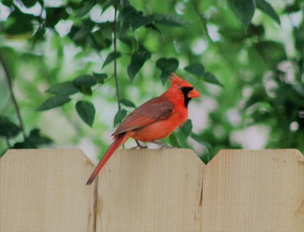 Animal Themes Animal Wildlife Animals In The Wild Beauty In Nature Bird Canonphotography Close-up Day Nature No People One Animal Outdoors Perching Red Redbird Tree Wood - Material