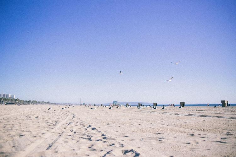 Seagulls on beach against clear sky