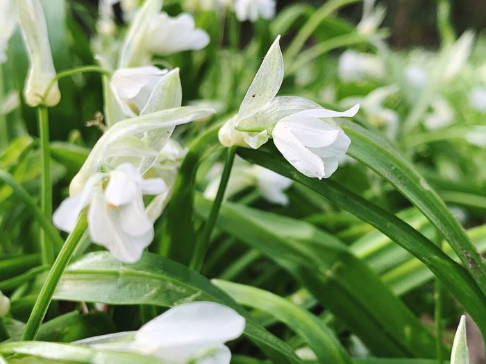Plant Flower Flowering Plant Growth Beauty In Nature Petal Freshness Vulnerability  Fragility White Color Close-up Plant Part Nature Leaf Green Color Focus On Foreground Inflorescence Flower Head Day No People Springtime Outdoors Purity