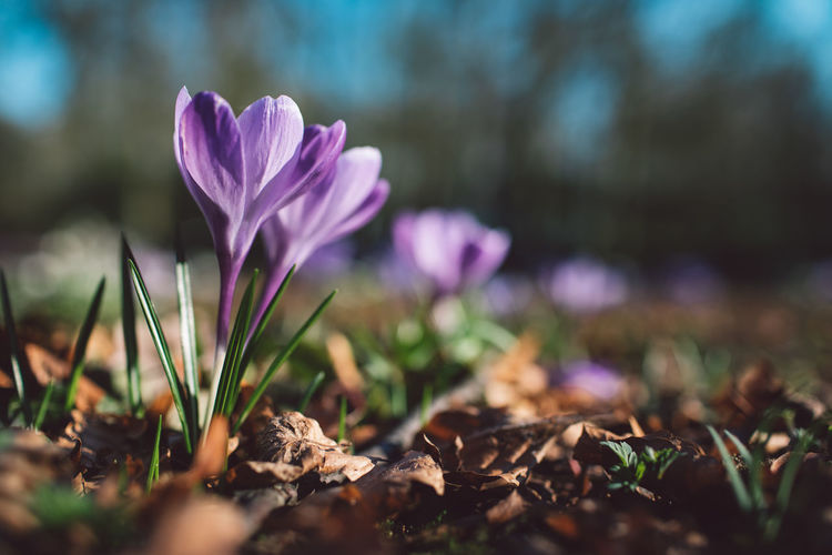 Springtime Decadence Flowering Plant Flower Vulnerability  Plant Fragility Freshness Beauty In Nature Petal Growth Close-up Selective Focus Nature Inflorescence Flower Head Crocus Land Field No People Iris Day Purple Outdoors