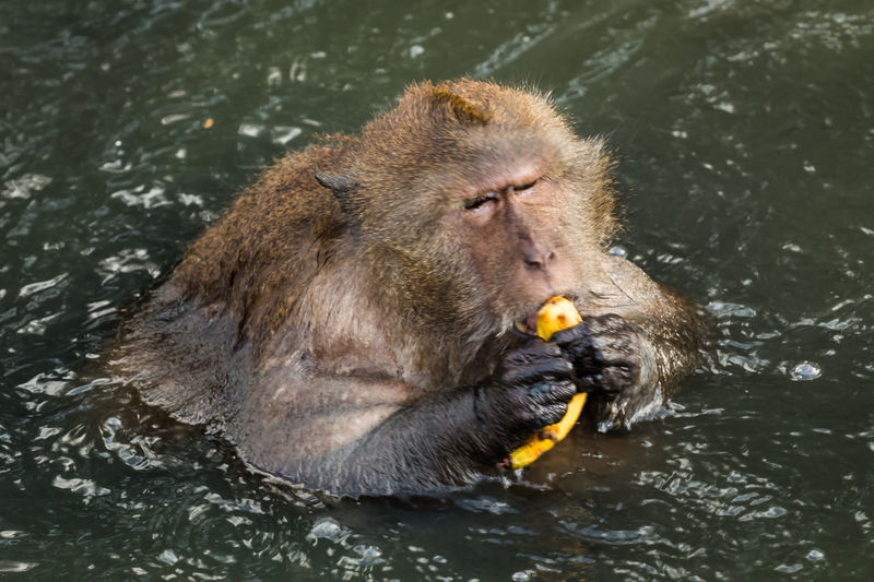 High angle view of long-tailed macaque eating banana in lake at zoo