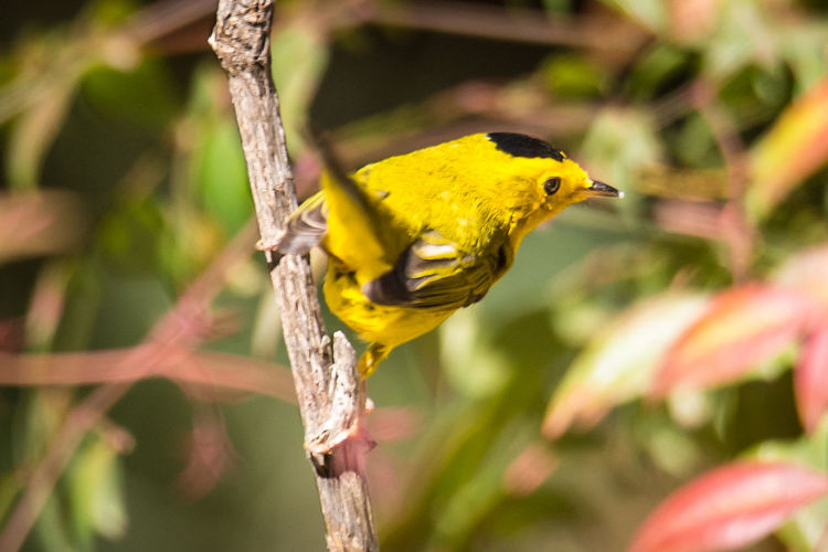 Wilson's Warbler Perched on a Branch Singing Warbler Animal Animal Themes Animal Wildlife Animals In The Wild Bird Black And Yellow  Branch Close-up Day Focus On Foreground Leaves Little Nature No People One Animal Outdoors Perching Song Springtime Tail Tree Wilsons Warbler Yellow