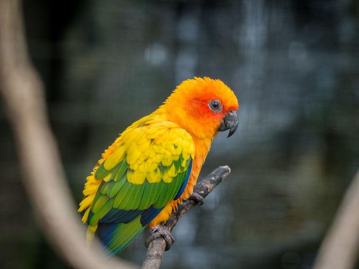 Close-up of sun parakeet perching on twig