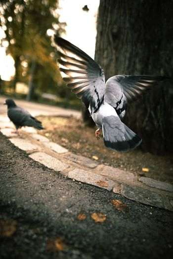 Pigeon flying over the ground
