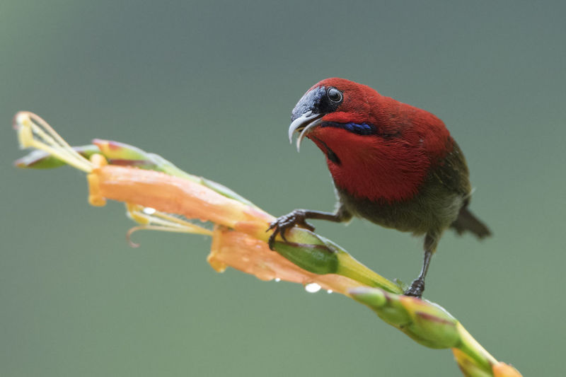 Red head honeycreeper feeding on a wet hibiscus flower after rain After Rain Animal Wildlife Animals In The Wild Bird Curve Bills Hibiscus Honeycreeper Light Weight Nature Red Red Head Tropical Water Drop Wet