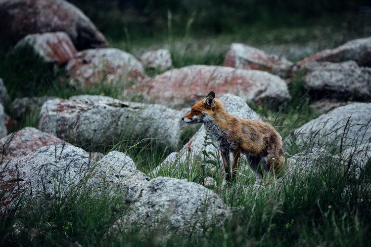 Fox on land