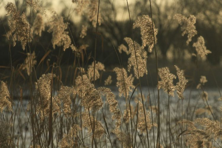 Atmosphere Atmospheric Mood Atmospheric Nature Autumn Beauty In Nature Beauty In Nature Field Growth Nature Plant Reed - Grass Family Reeds Tranquility Winter