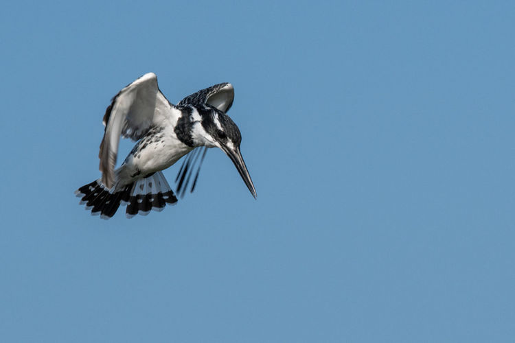 Pied Kingfisher hovering Birds Of Africa EyeEm Birds EyeEm Nature Lover Kingfisher Pied Kingfisher Animal Animal Themes Animal Wildlife Animal Wing Animals In The Wild Bird Birds In Flight Blue Clear Sky Day Flying Full Length Low Angle View Mid-air Nature No People One Animal Sky Spread Wings Vertebrate