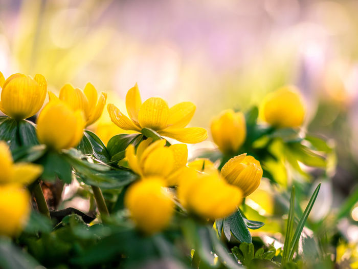 Plant Beauty In Nature Growth Flowering Plant Selective Focus Flower Yellow Freshness Close-up Nature Vulnerability  Fragility No People Petal Green Color Plant Part Leaf Flower Head Day Sunlight Outdoors