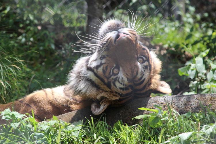 Tigress Posing