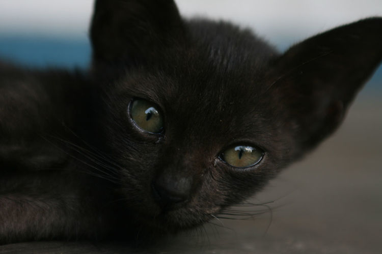 Young black cat is chill out at the ground Black Cat Animal Animal Body Part Animal Eye Animal Head  Animal Themes Animal Wildlife Black Color Cat Close-up Domestic Domestic Animals Domestic Cat Ears Eye Eyes Feline Looking At Camera Mammal No People One Animal Pets Portrait Puppy Whisker