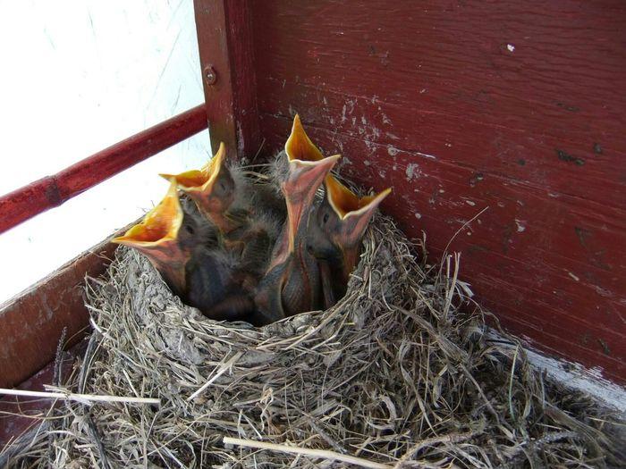 Precision Orderly Nest Big Beaks Same Size Precision Timing Orange Baby Birds Hungry! Nesting Box Robins