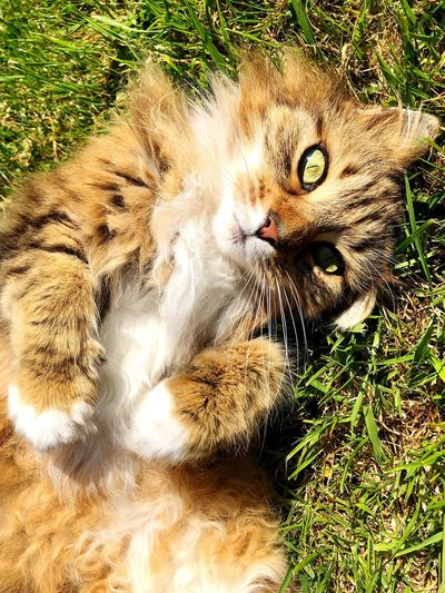Close-up portrait of cat lying on field