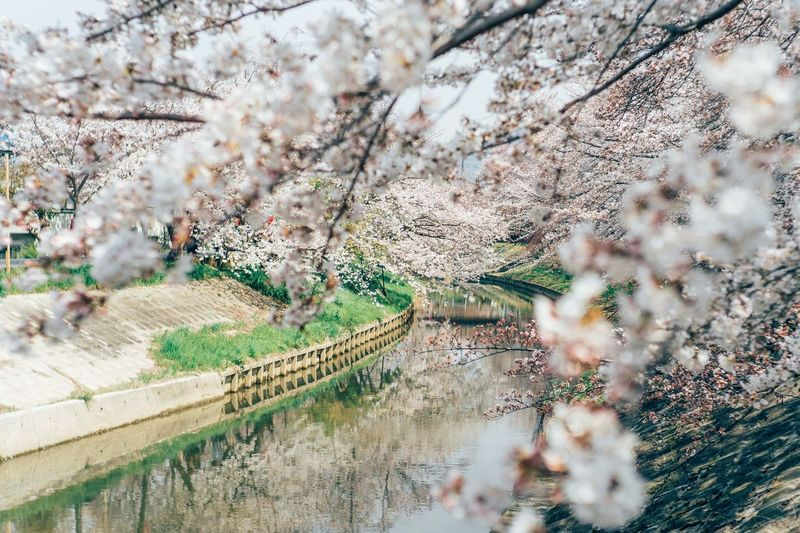 Plant Tree Blossom Springtime Flower Flowering Plant Growth Nature Cherry Blossom Fragility Freshness Beauty In Nature Day Branch Cherry Tree No People Outdoors Vulnerability  Selective Focus Architecture