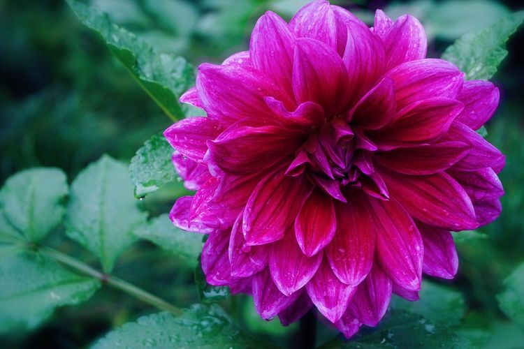 Close-up of wet pink dahlia flower