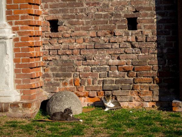 ~7日間イタリアの旅~ ミラノ公国の要塞・スフォルツェスコ城には猫がたくさん Castle City Italia Mirano Remains Animal Animal Themes Architecture Blick Brick Wall Building Exterior Built Structure Cat Feline Italy Looking At Camera Mammal No People One Animal Outdoors Pets Portrait