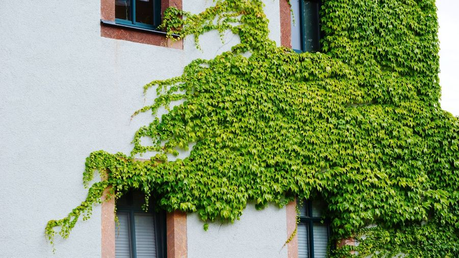 Green Color Architecture Built Structure Building Exterior Window Ivy Growth Plant Day Growing Green Creeper Plant Outdoors Tree No People Low Angle View Nature Leaf Close-up Freshness