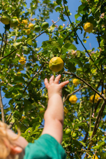 Rear view shot of a blond toddler reaching up for a lemon on a tree