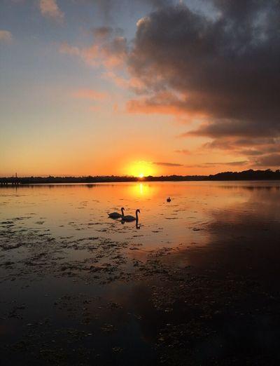 Swans Poole Harbour Sunset Scenics Nature