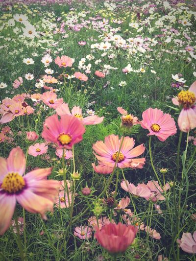 Lost In The Landscape Cosmos Flower Flowerfield Fragility Outdoors Blooming