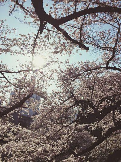 Spring Flowers Flowers Spring Tokyo,Japan Chidorigafuchi サクラ Morning Sunshine