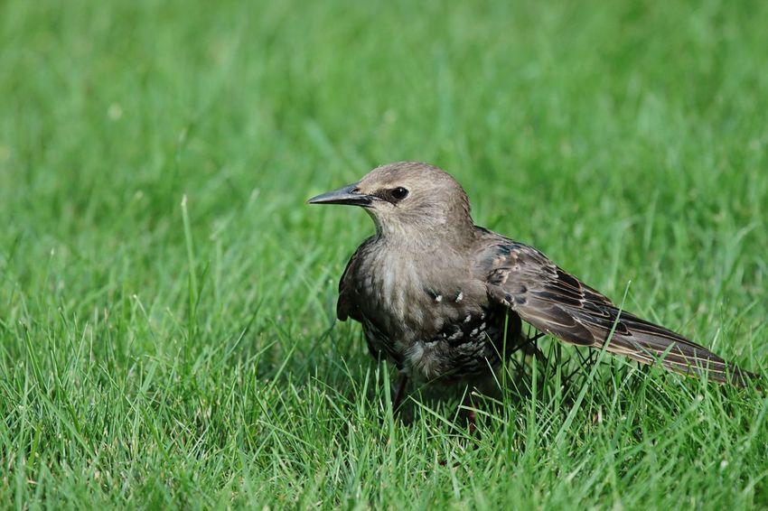 Star Starlings Starling Birds Bird Vogel Star Singvogel Animals Animal Nature