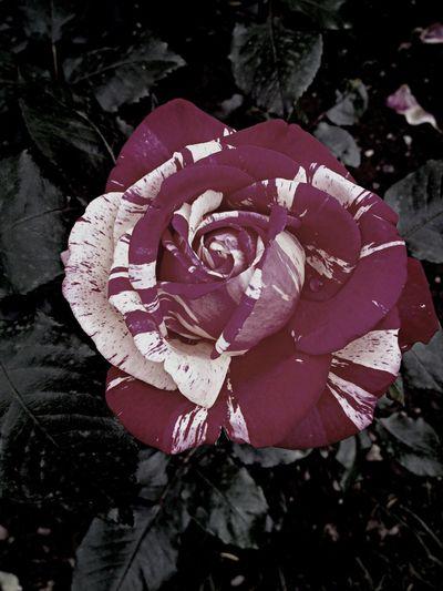 Macroclique Roses Relaxing Enjoying The Sun
