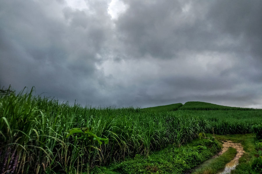 Cloudy Landscape Green Color Nature Travel Tea Crop Irrigation Equipment Rural Scene Storm Cloud Thunderstorm Cereal Plant Agriculture Field Tree Crop  Terraced Field RainDrop Cyclone Foggy Rainy Season Fog Mist Hurricane - Storm Rain Dew